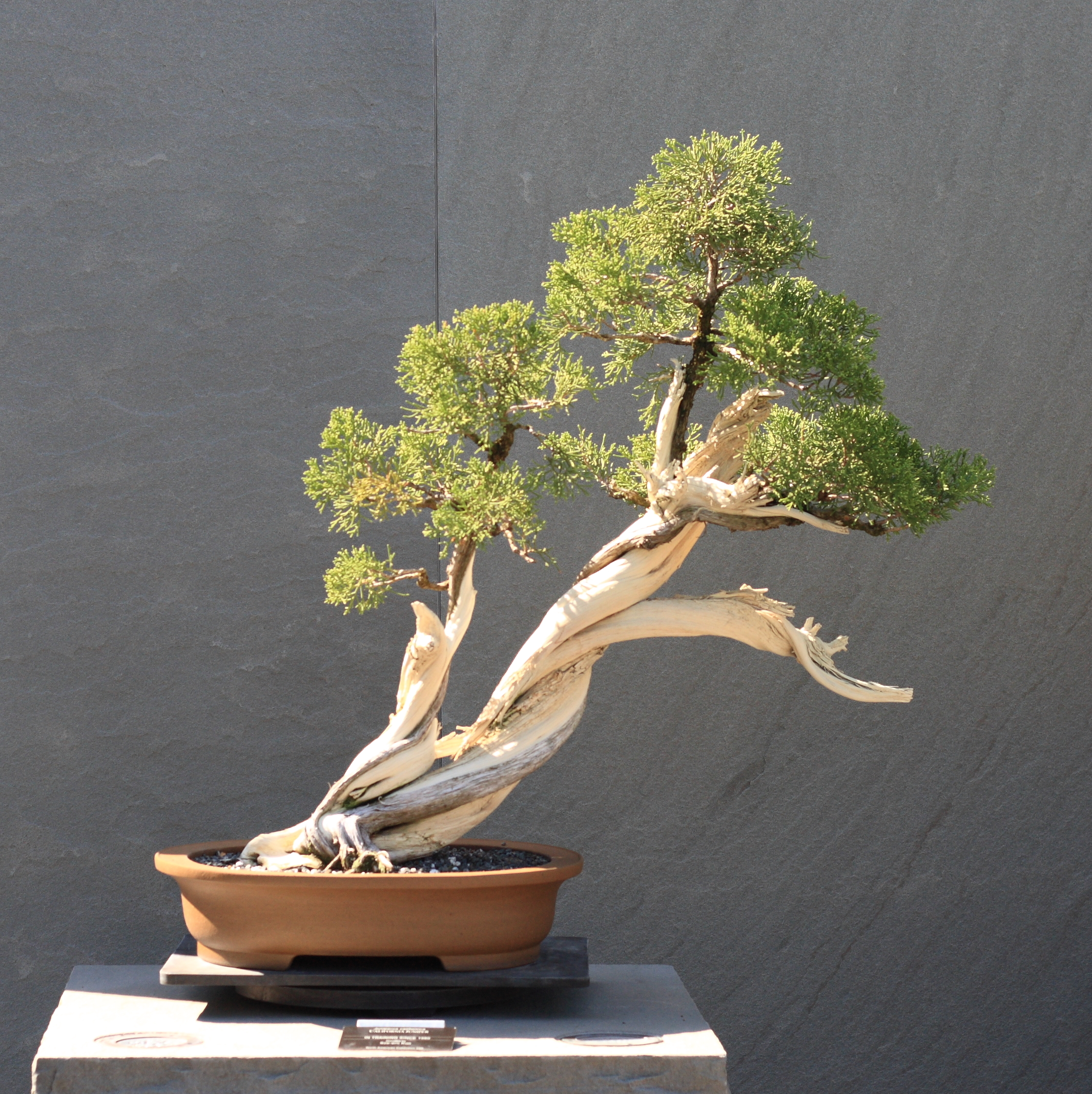 File:California Juniper bonsai 220, October 10, 2008.jpg ...