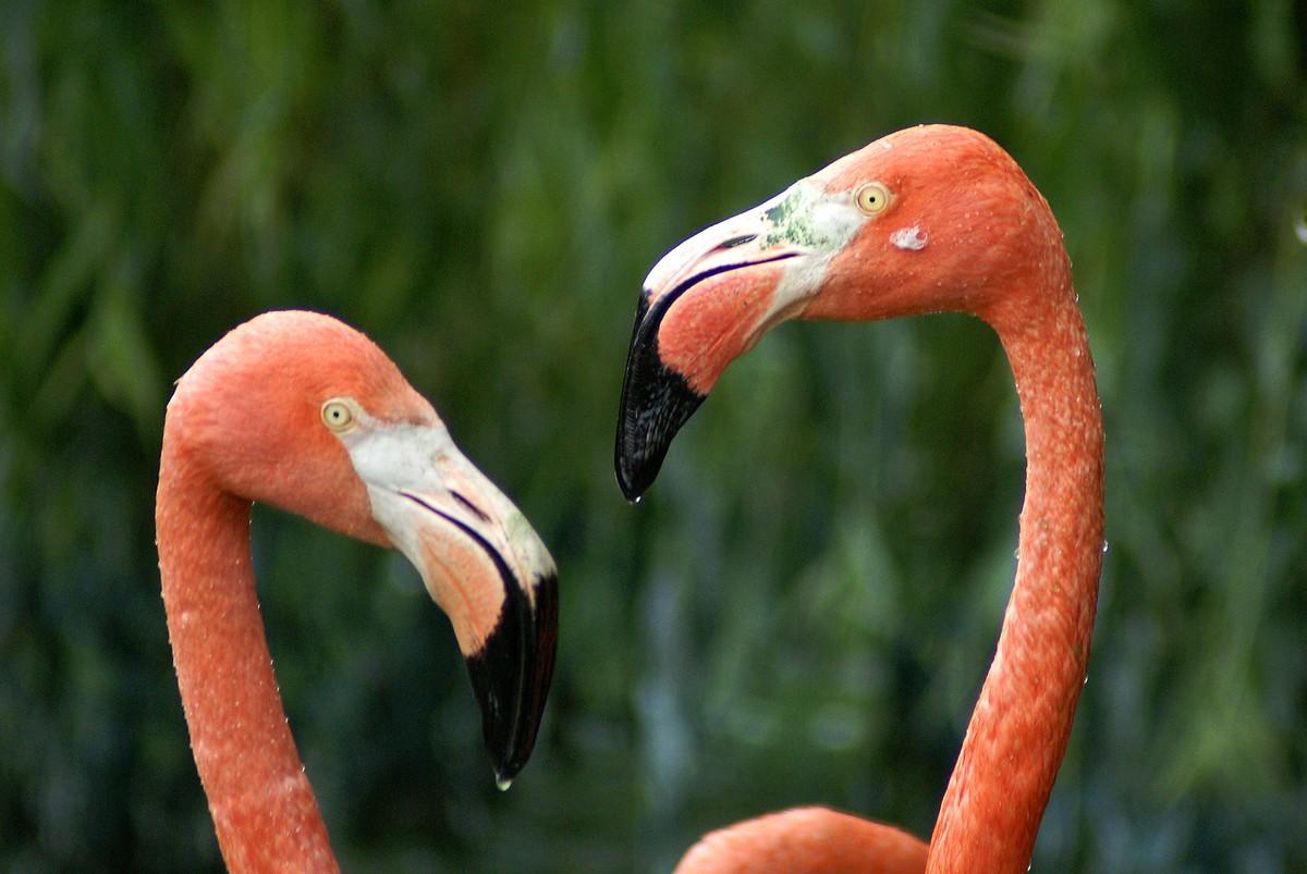 plamenac siri fake news Caribbean_flamingo10