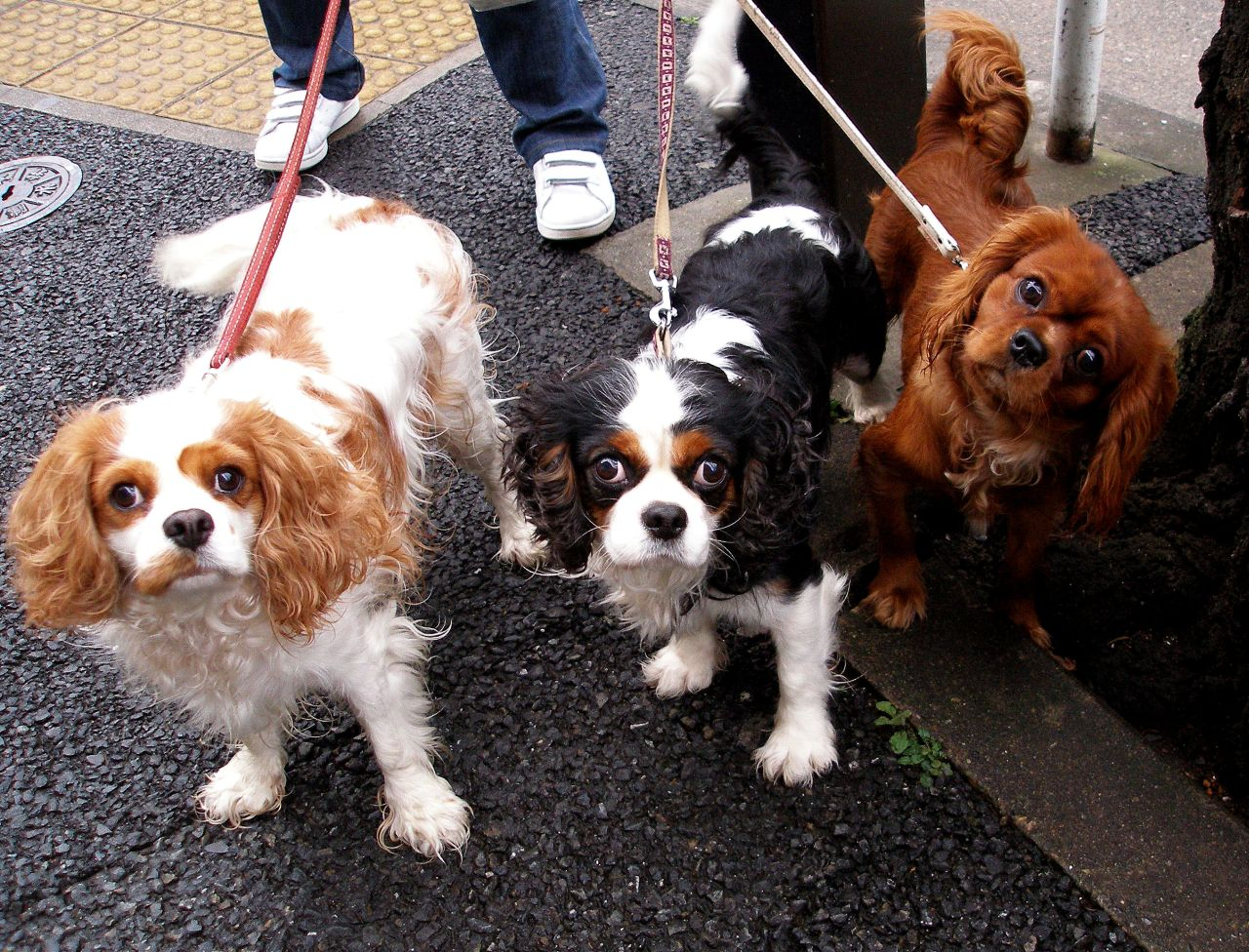 Description Cavalier King Charles Spaniel trio.jpg