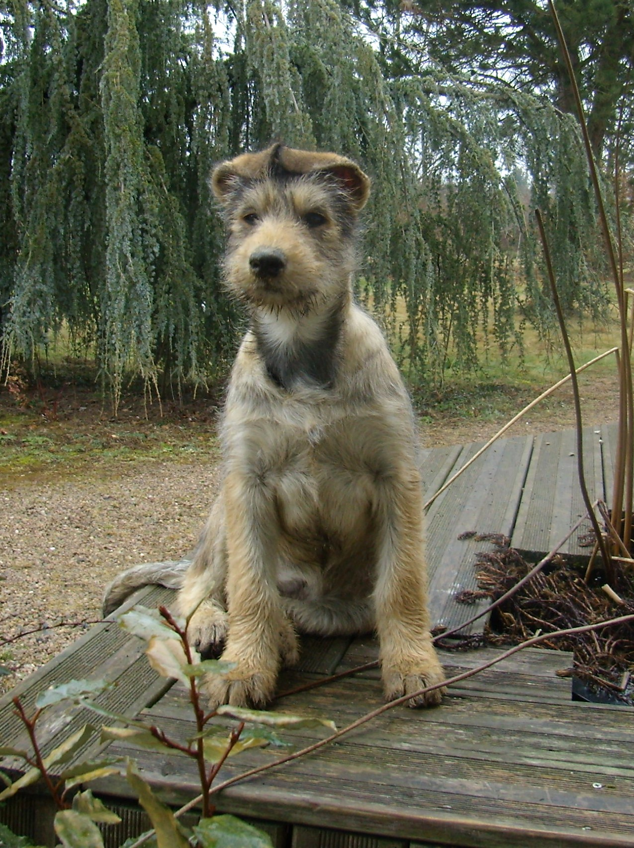 File Chiot Berger Picard 2 Jpg Wikimedia Commons