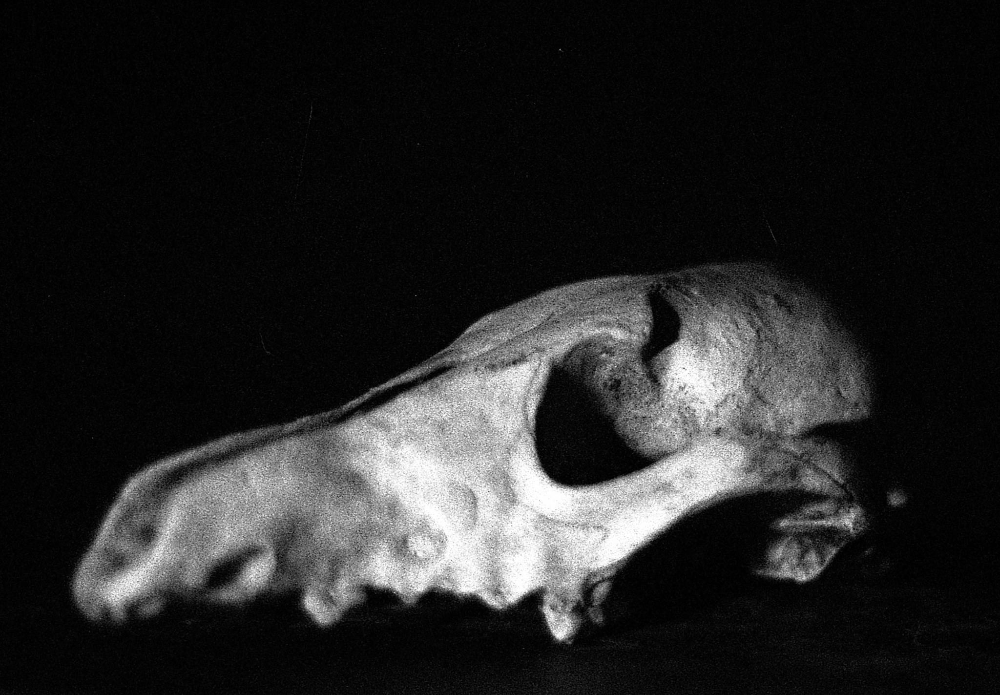 File:Coyote Skull in B&W jpg - Wikimedia Commons