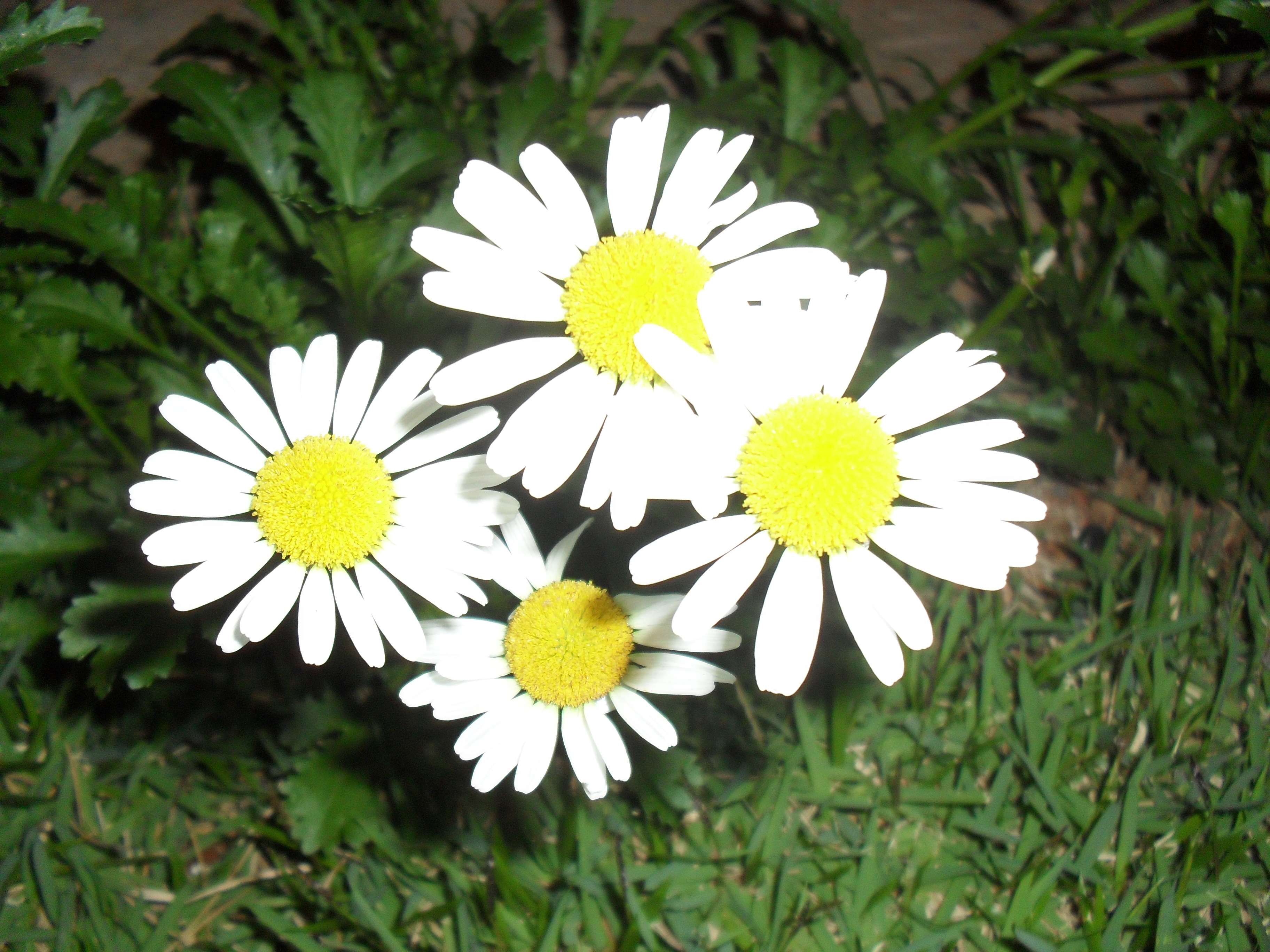 Filedaisy flower at nightg wikimedia commons filedaisy flower at nightg izmirmasajfo Gallery