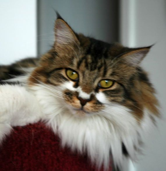 Maine Coon Cats For Sale Demerest Nj