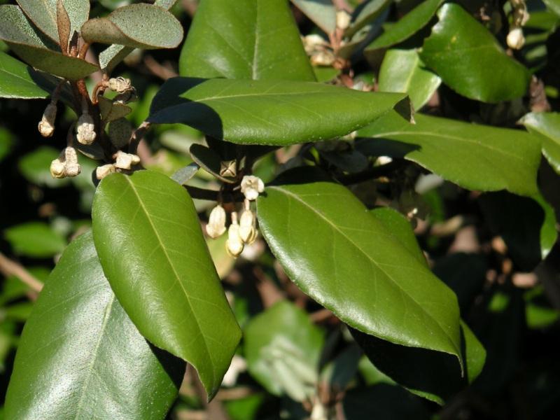 Лох колючий: описание, виды, особенности выращивания