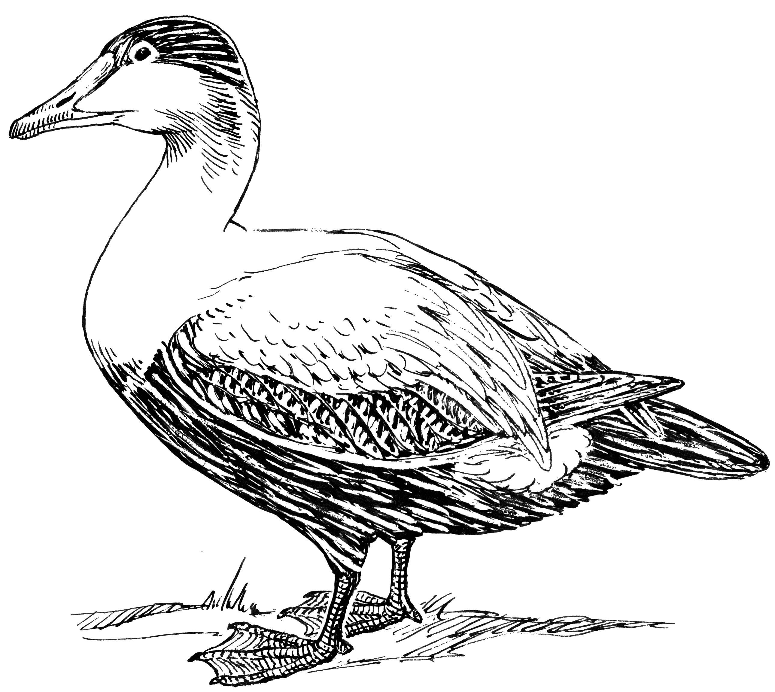 Line Art Duck : File elder duck psf wikimedia commons