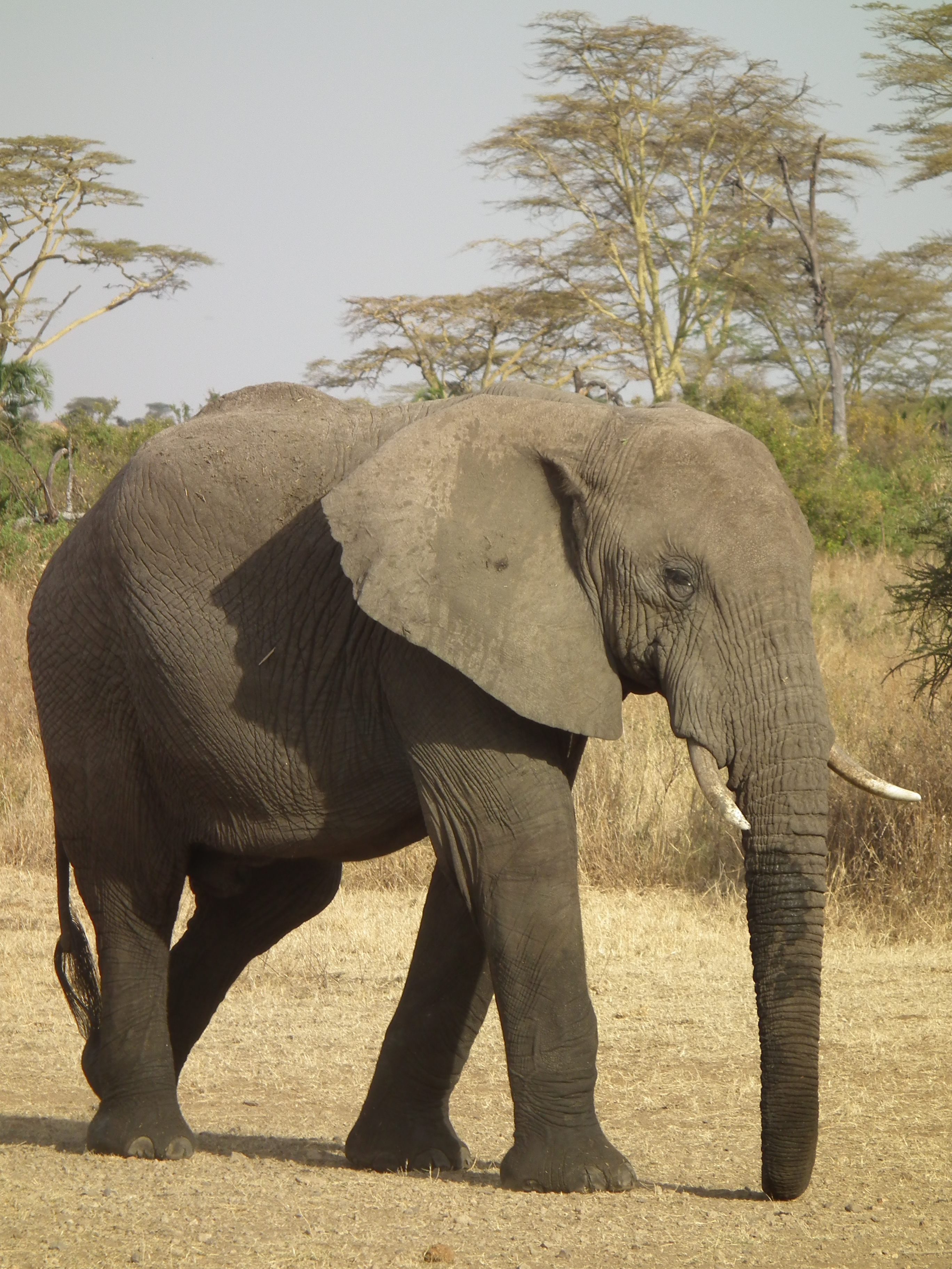 elephant tanzania african animal bush africa nevit arms coat elephants file antelope south commons cape town spoon collector wiki wikipedia