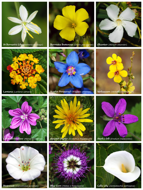 flower  wikiwand, Beautiful flower