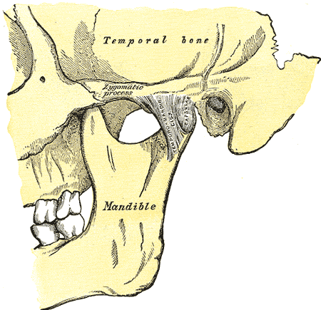 Temporomandibular Joint Wikipedia