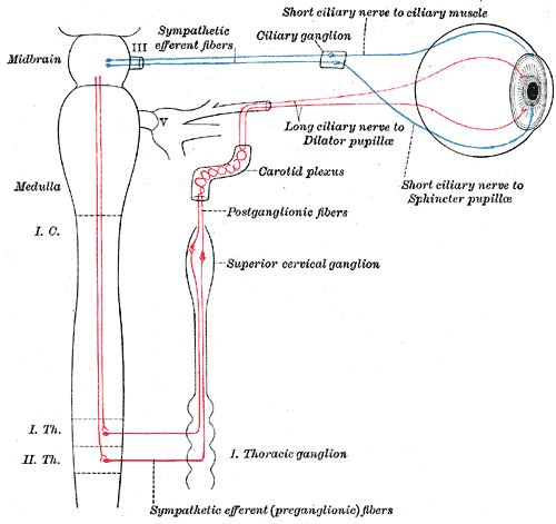 Internal Carotid Plexus Wikipedia