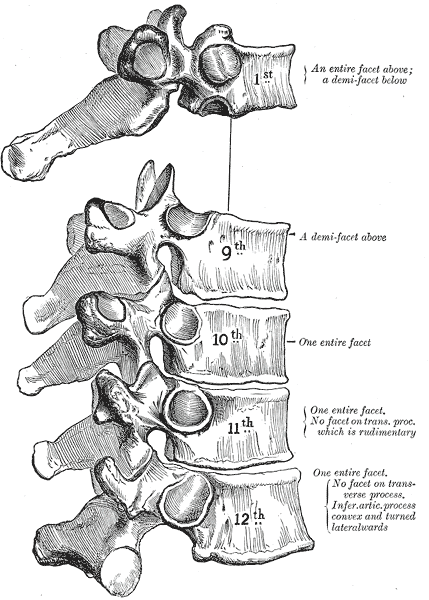 The first and ninth through twelfth thoracic vertebra have some peculiarities Gray91.png