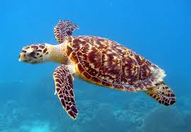 Hawksbill Sea Turtle (Critically Endangered Species).jpg