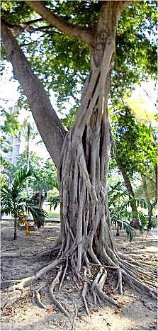Matapalo - Wikipedia, la enciclopedia libre