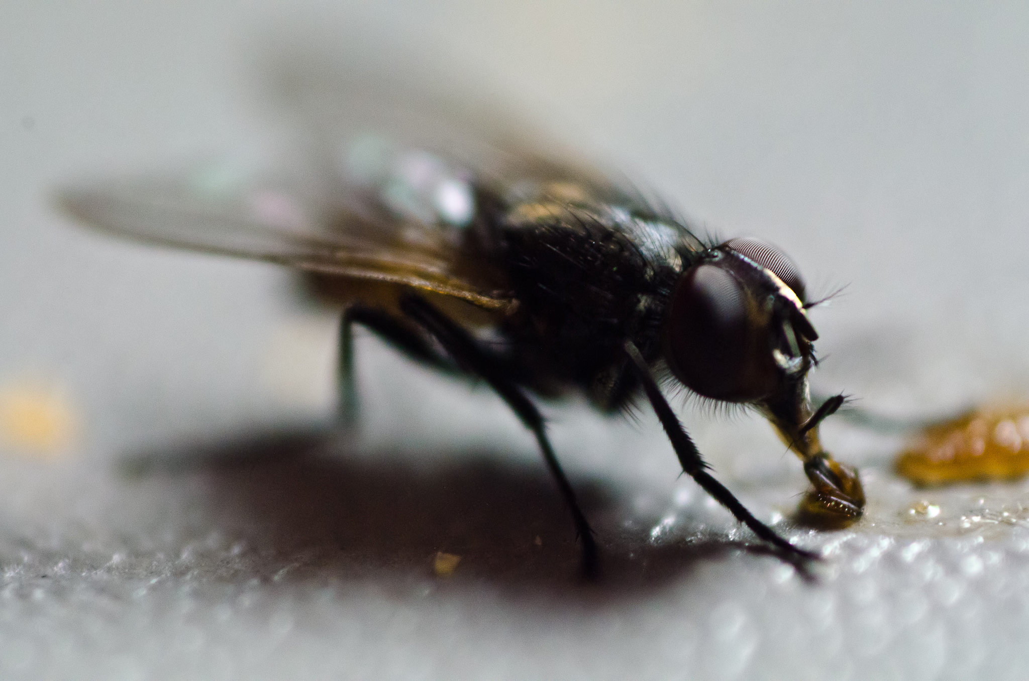 File:Housefly on Table.jpg - Wikimedia Commons