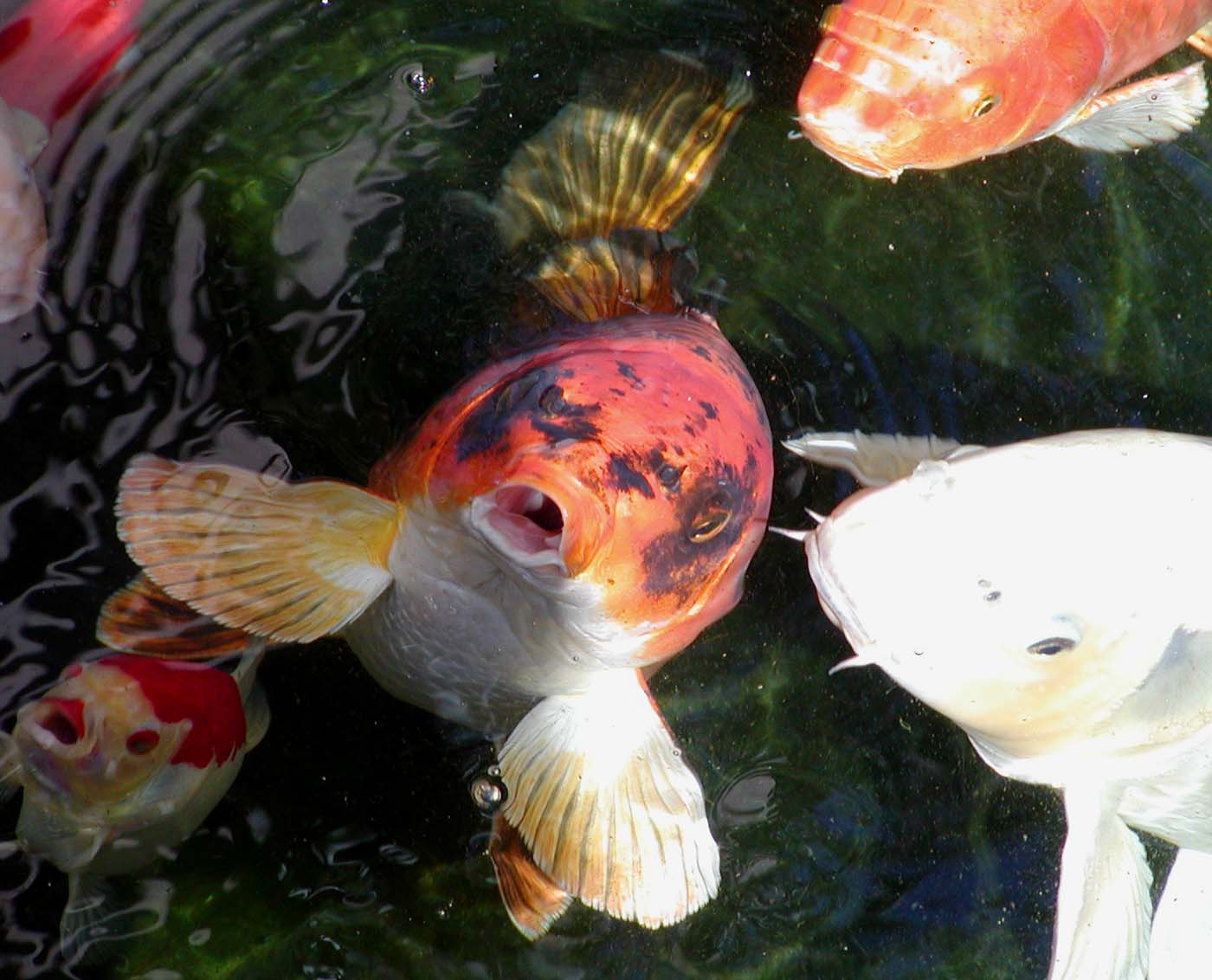 File hungry wikipedia for Koi information