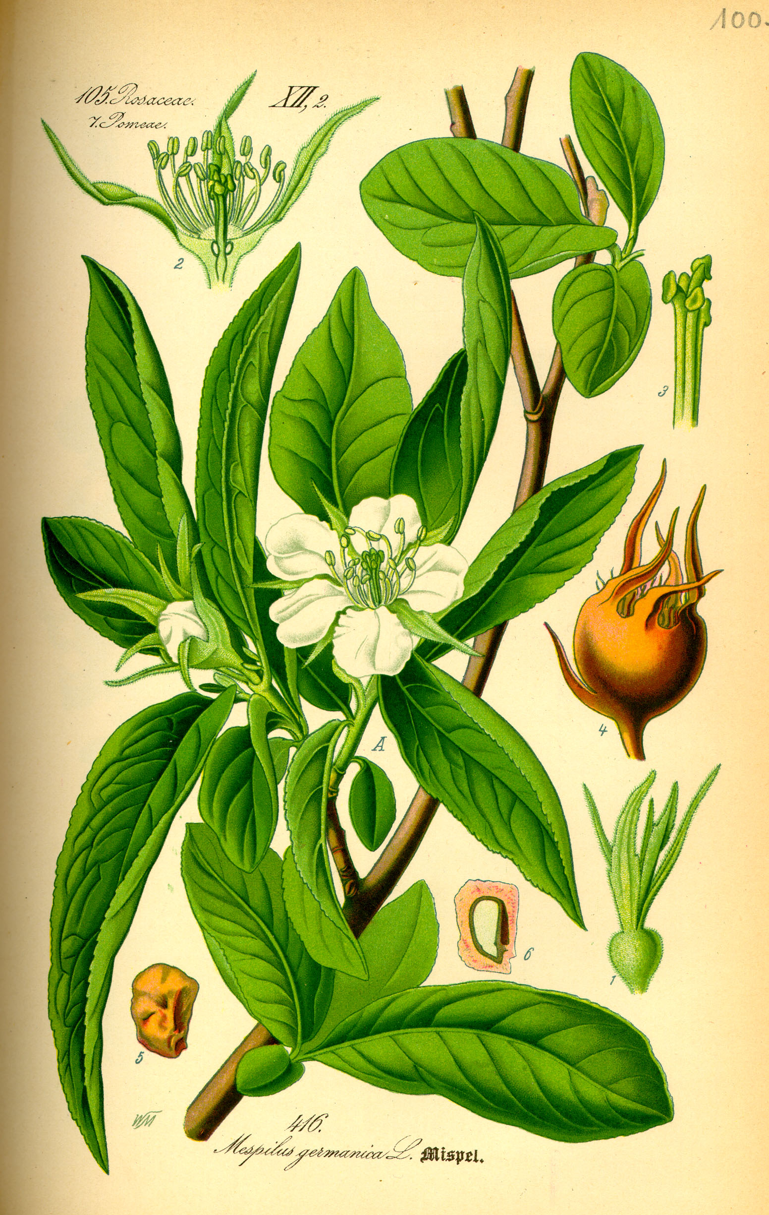 https://upload.wikimedia.org/wikipedia/commons/a/a5/Illustration_Mespilus_germanica0.jpg