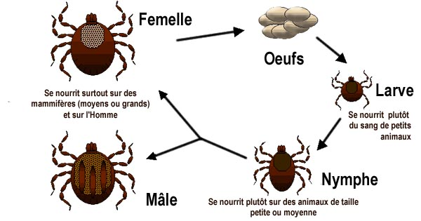 Image-Life cycle of ticks family ixodidaeFr.jpg