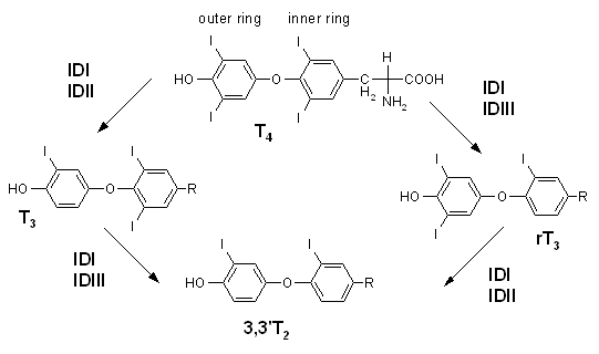 Synthesis of T3 from T4 via deiodination. Synthesis of reverse T3 and T2 is also shown. Iodothyronine deiodinase.png