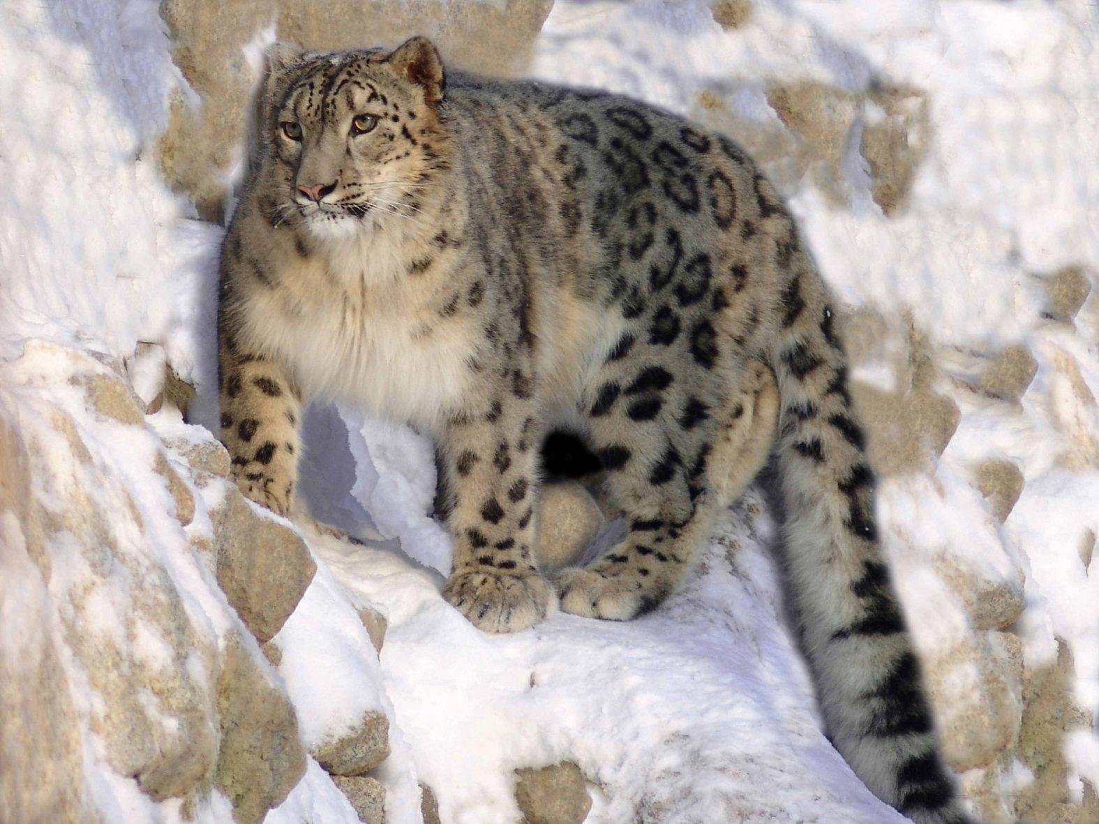 Снежный барс в казахстане реферат 6566