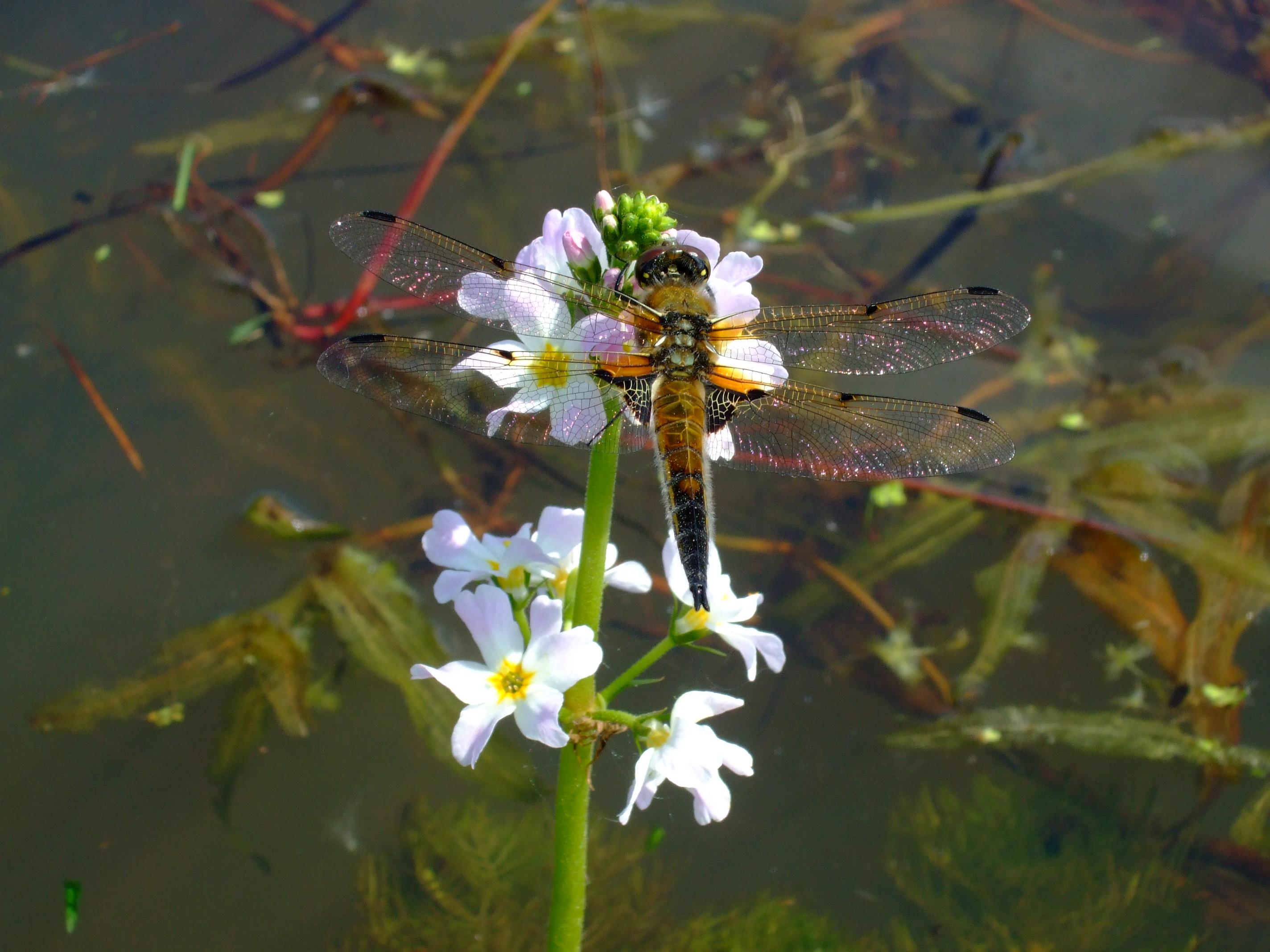 libellula quadrimaculata m1.jpg