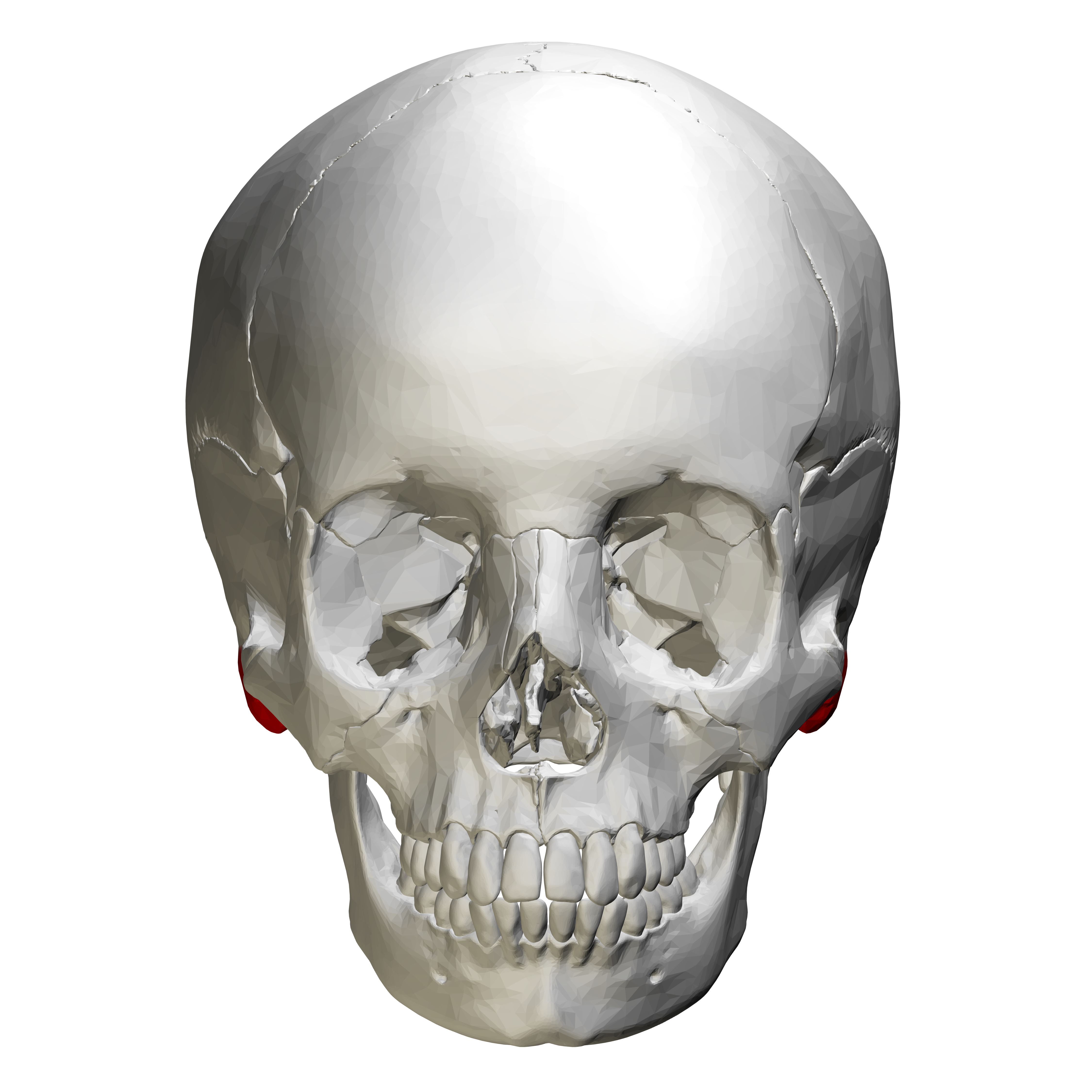 File:Mastoid process - anterior view.png - Wikimedia Commons