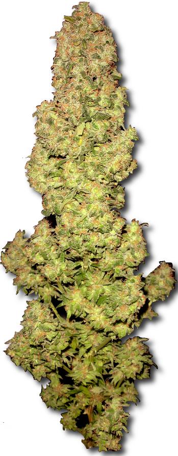 file medical cannabis bud vlarge     wikimedia commons