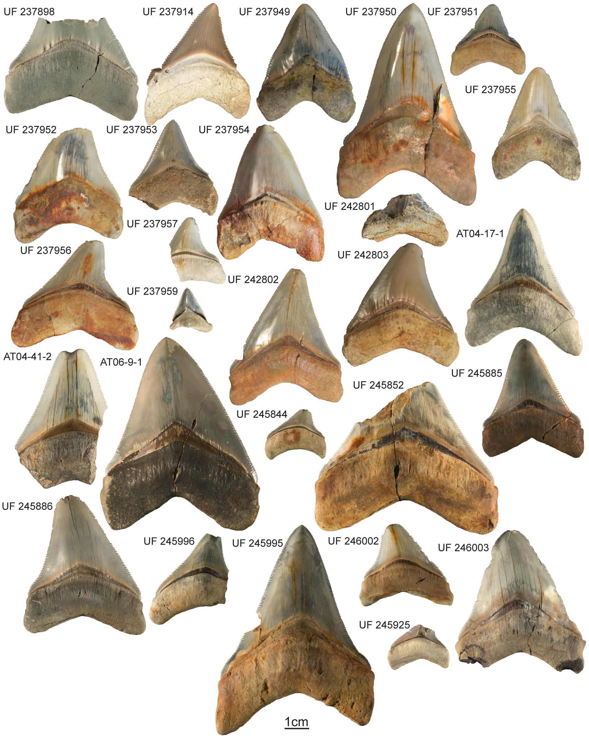 Prehistoric Shark Megalodon Teeth