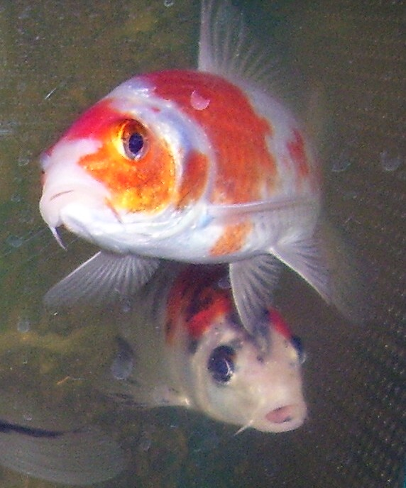 Coldwater fish wikipedia for What fish can live with goldfish in a pond
