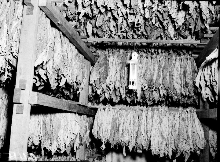 Queensland State Archives 1843 Tobacco curing Ayr November 1955