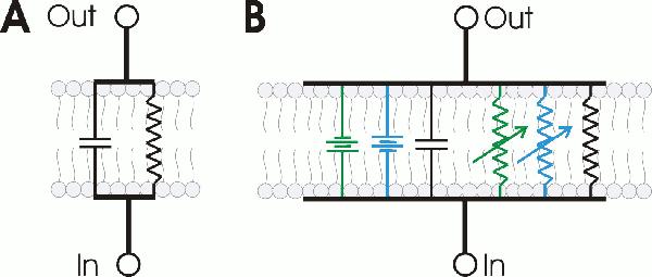 neurociencia y plasticidad cerebral  potencial de acci u00f3n
