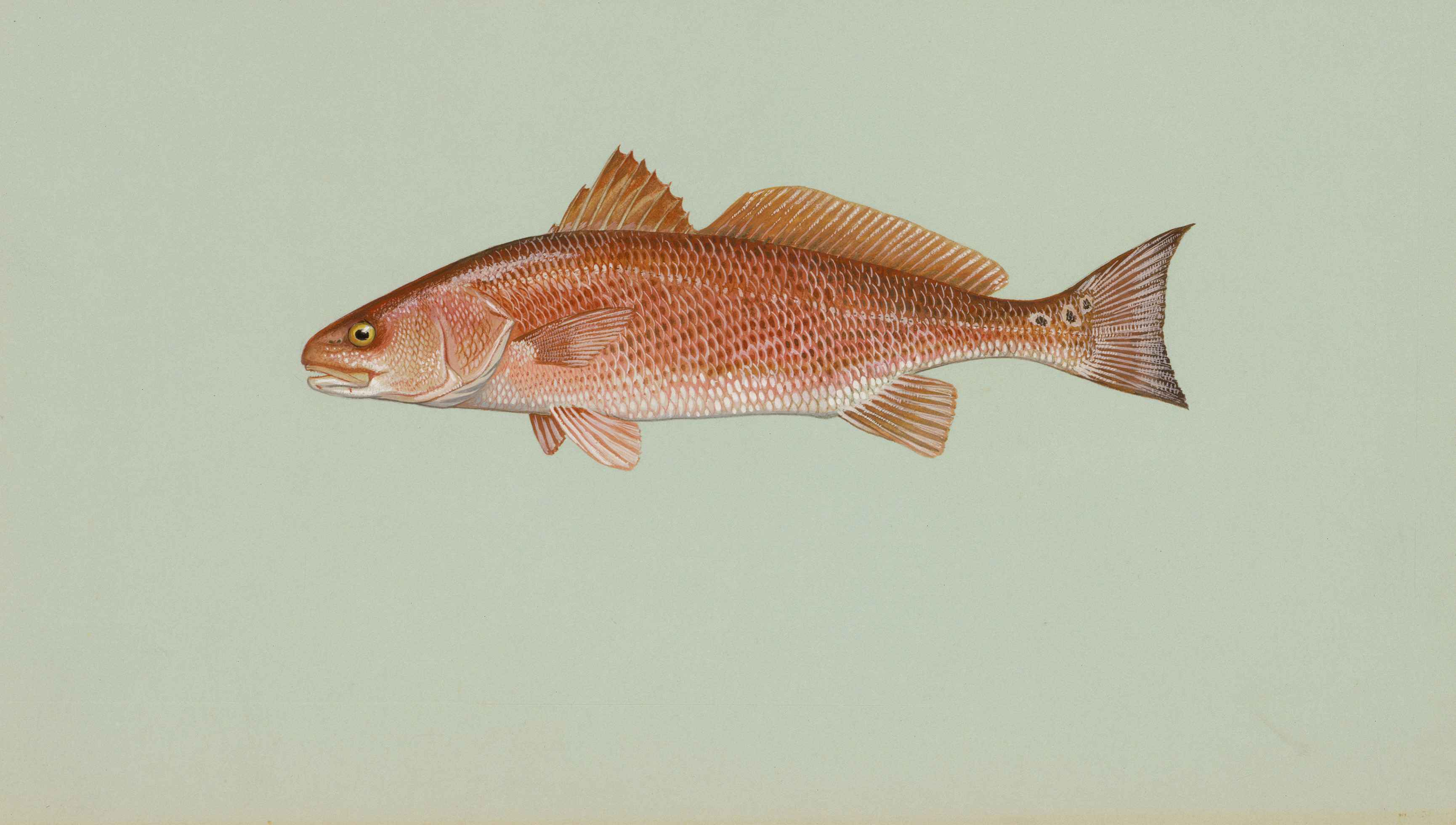 Red drum fish wallpaper for Fishpond fishing