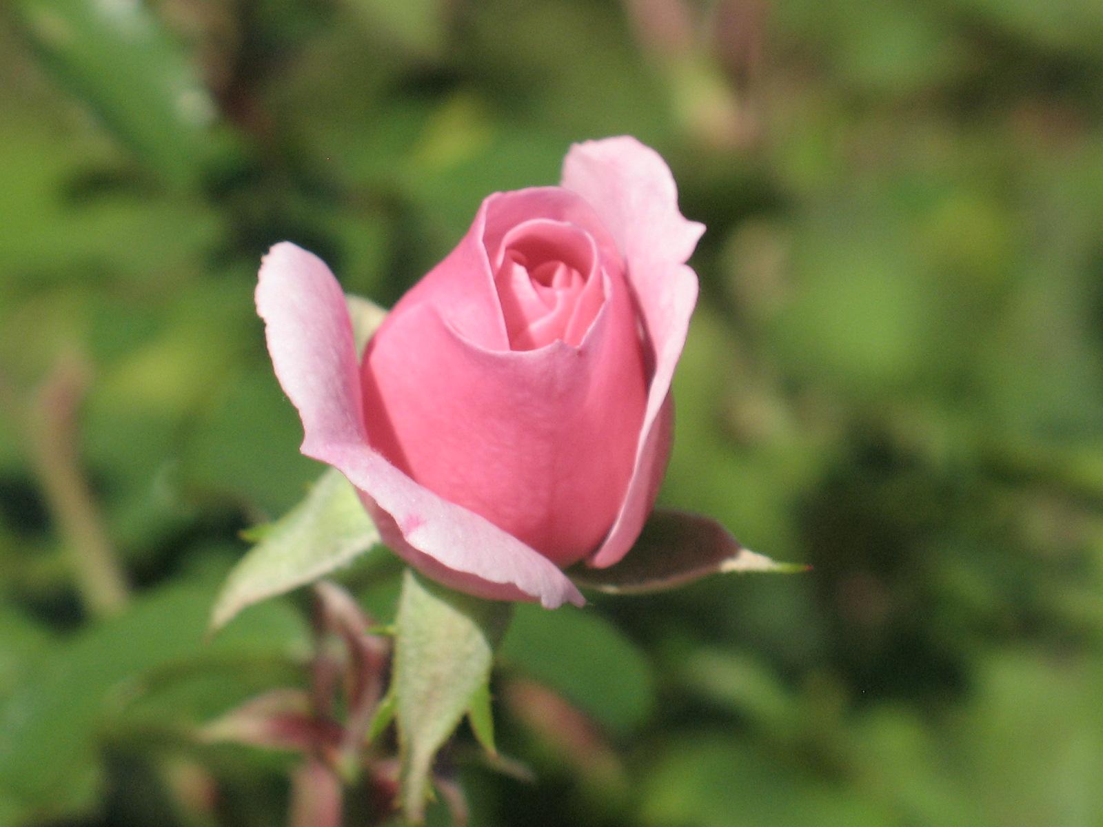 file rosa cultivar bonica 82 2 jpg wikimedia commons. Black Bedroom Furniture Sets. Home Design Ideas