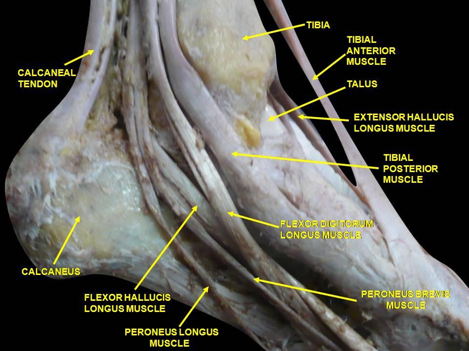 Peroneal Tendon Anatomy Choice Image - human body anatomy