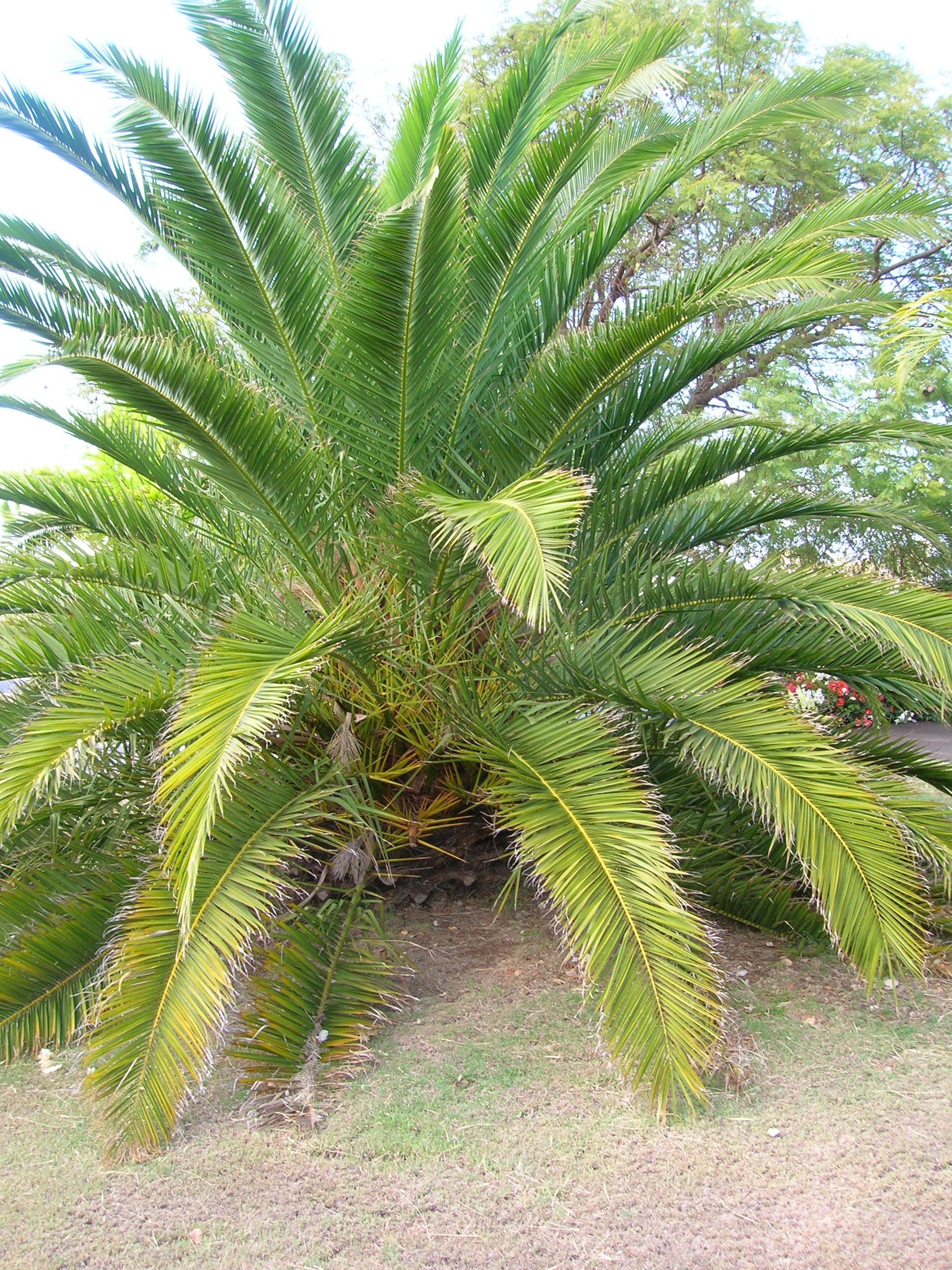 File starr 071024 8831 phoenix for Arboles de jardin de hoja perenne