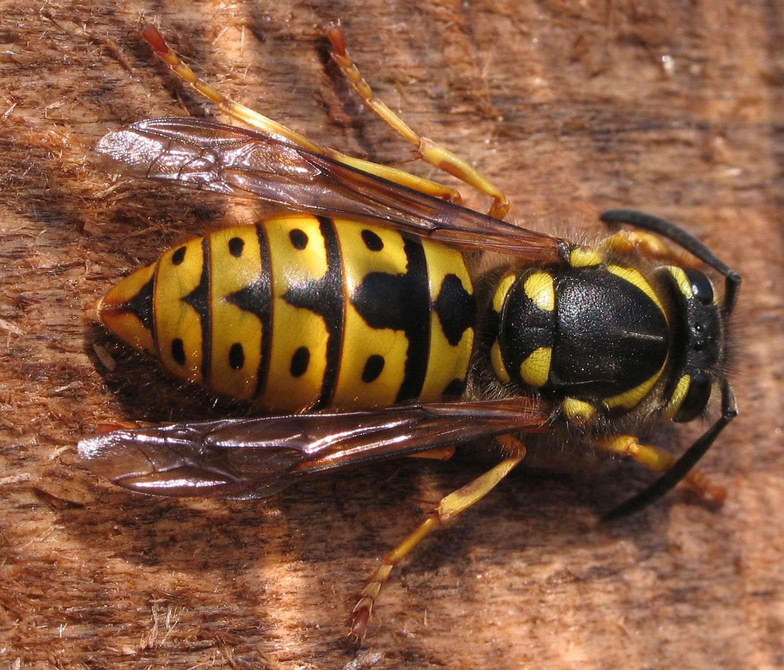Queen Wasp Size File:Vespula germanica...