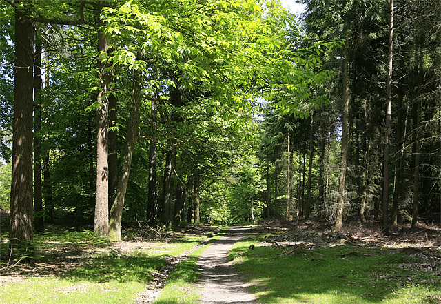 Woodland path in Wilverley Inclosure - geograph.org.uk - 182234