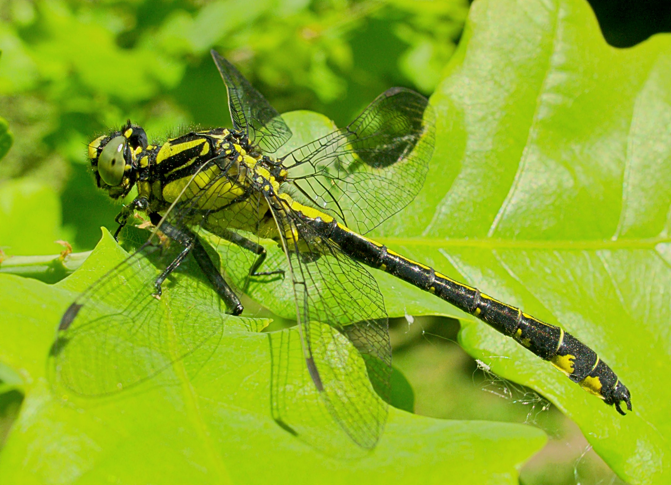 filexn gomphus vulgatissimus 686jpg wikimedia commons