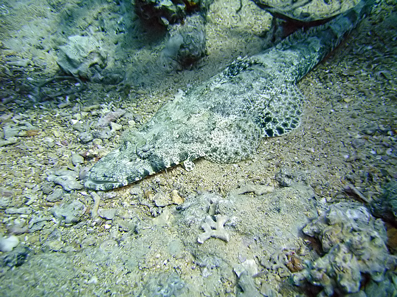Crocodilefish using a camouflage on a stone and sandy sea floor