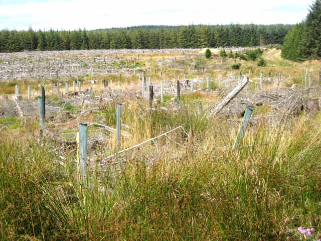 A forest of Tuley Tubes, Harwood Forest - geograph.org.uk - 541500