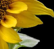 A sunflower-Edited.dudes