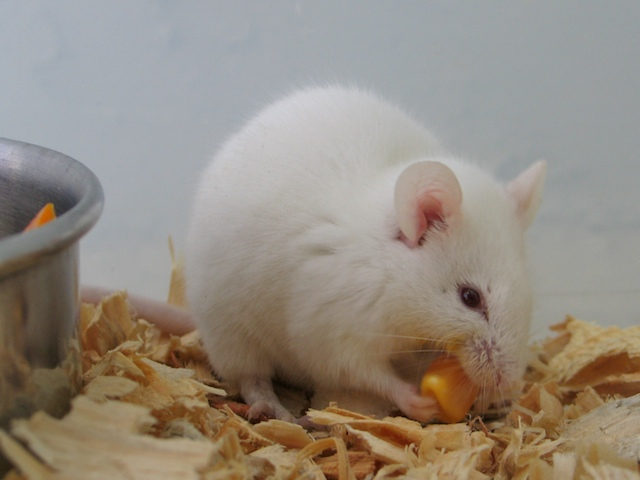 Image result for albino mice