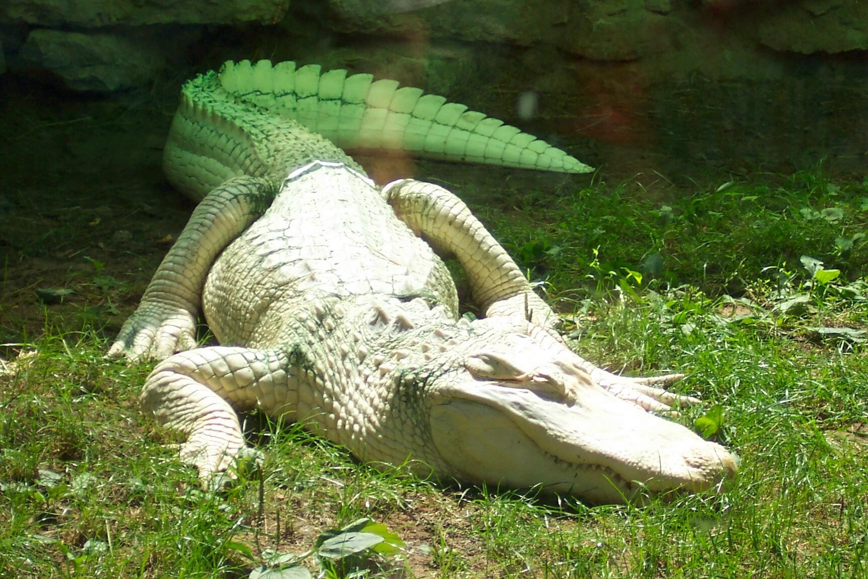 Albino Alligator  We Bare Bears Wiki