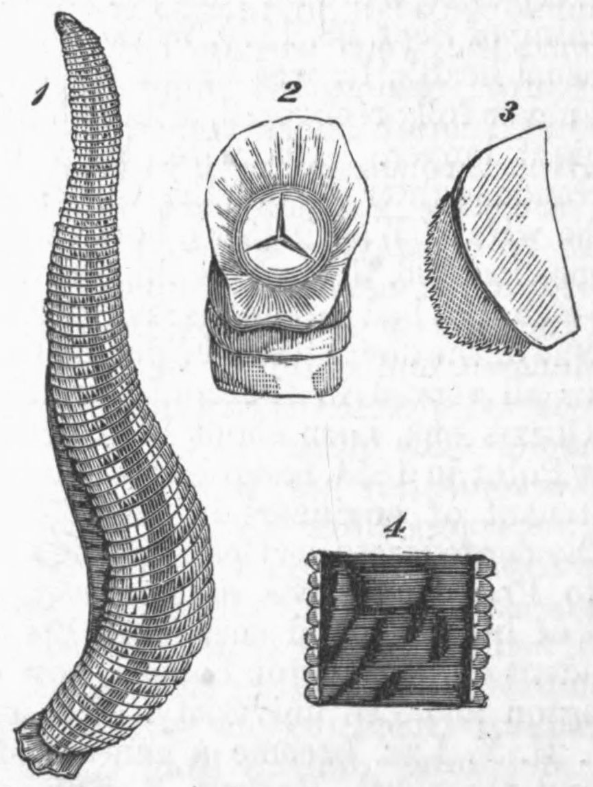 File:AmCyc Leech.jpg - Wikimedia Commons
