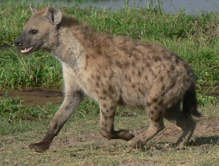 Is Hyena A Dog Or Cat