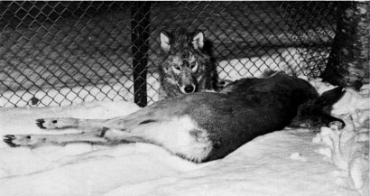 File:An Experimental Translocation of the Eastern Timber Wolf (1975