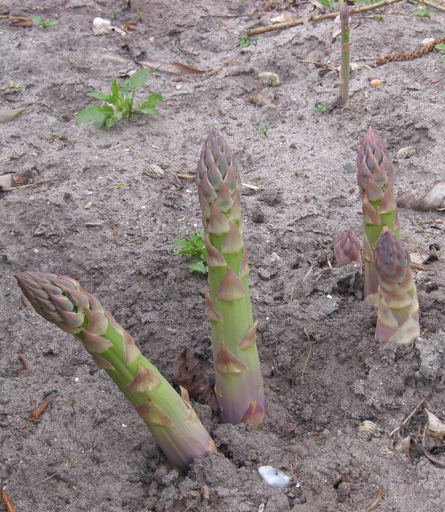 Asparagus garden