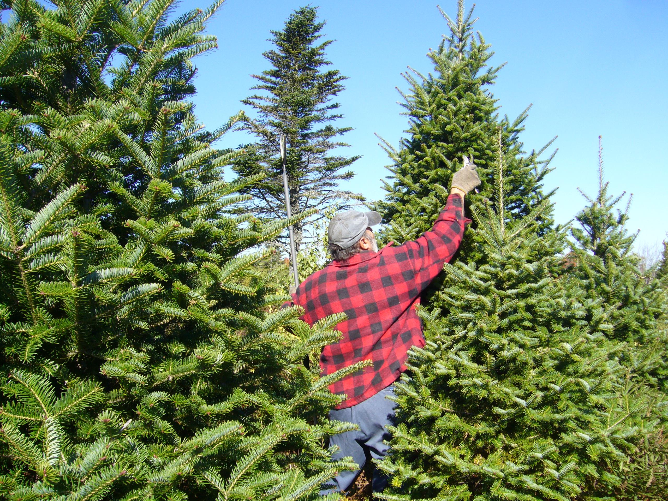 (c) Rcbutcher on wikipedia. Depicts Christmas tree farmer tending to trees in Waterloo, Nova Scotia.