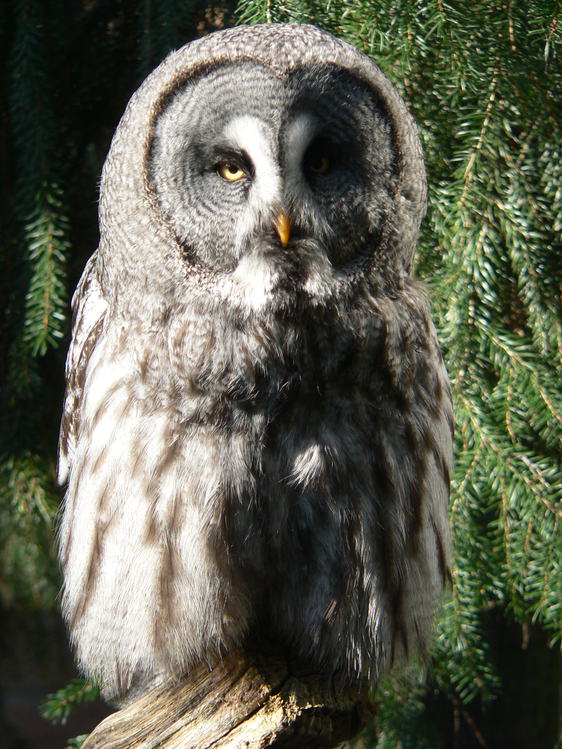 HES Owl Research - Claire-Great Gray Owl