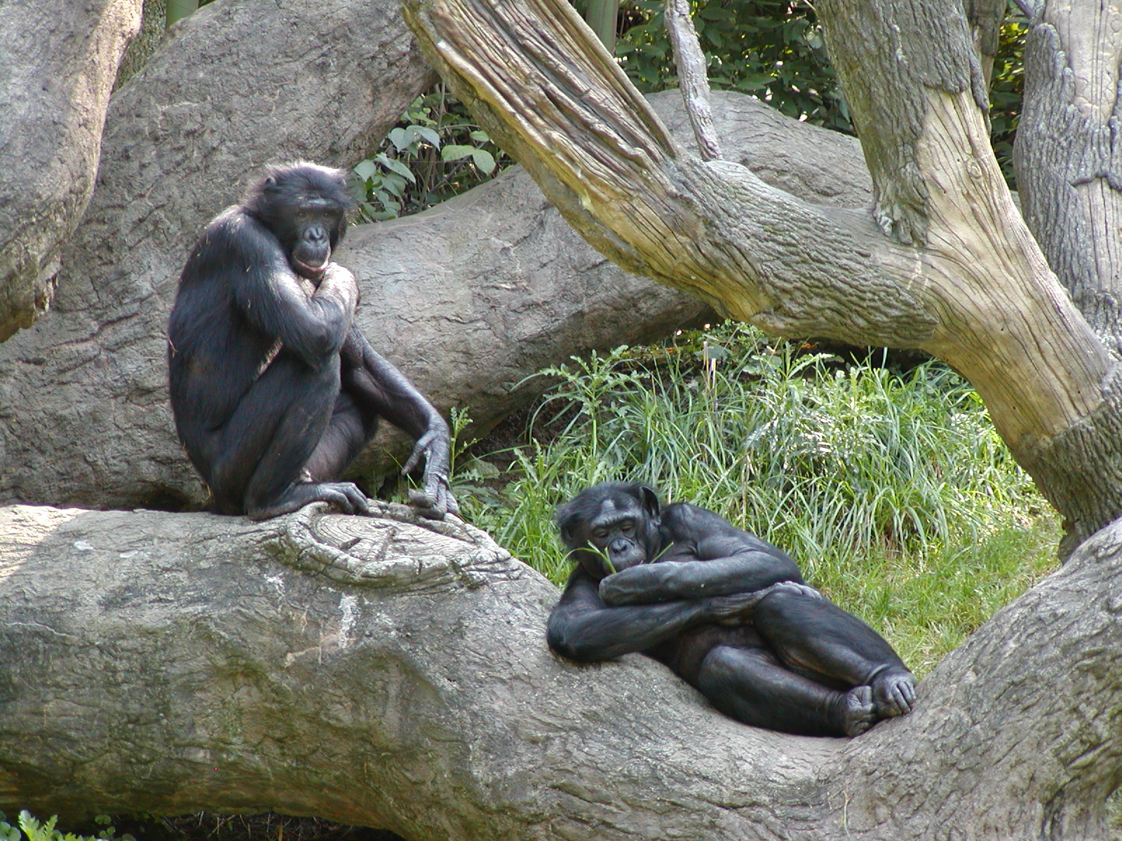 https://upload.wikimedia.org/wikipedia/commons/a/a6/Bonobo-04.jpg