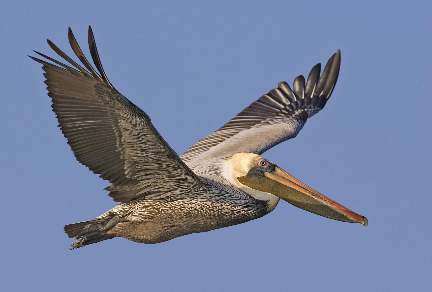 File Brown Pelican Orig Natures Pics Jpg Wikimedia Commons