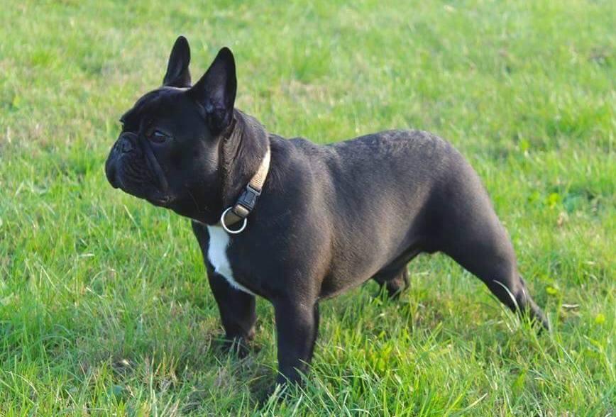 Bulldog Francese Wikipedia